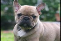 French Bulldog Puppies For Sale Upstate Ny