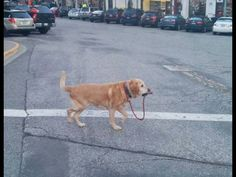 this is a strong independent dog that dont need no man to walk him dog walks itself