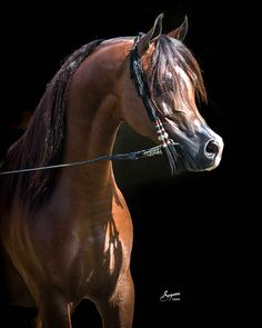 KANZ ALBIDAYER (AJMAN MONISCIONE x DL MARIELLE) 2009 bay stallion bred by Albidayer Stud