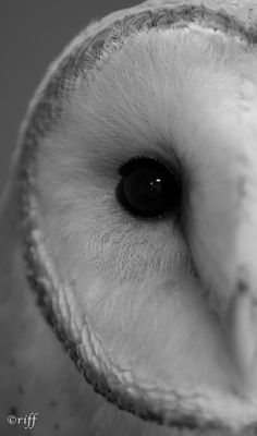 Barn owl portrait in black and white
