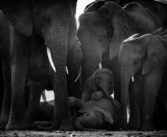 Early morning of the baby elephants protected by family, Kenya 2015 © Laurent Baheux