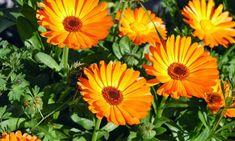 7 plantas medicinales que puedes cultivar en tu jardín - Caléndula