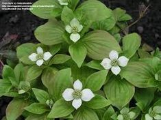 PlantFiles Pictures: Bunchberry, Creeping Dogwood, Dwarf Cornel, Crackerberry, Pudding Berry (Cornus canadensis) by Galanthophile Dwarf, Berries, Seeds, Plants, Pictures, Pudding, Gardening, Tattoo, Google Search