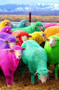 Freshly dyed sheep run in view of the highway near Bathgate, Scotland. The sheep farmer has been dying his sheep with Nontoxic dye since 2007 to entertain passing motorists. #coloreveryday