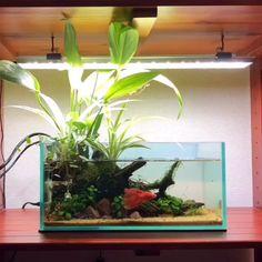 Feeding Betta Fish In Nature Nano Tank - aquascaping Aquarium Garden, Betta Aquarium, Nature Aquarium, Aquascaping, Freshwater Aquarium Plants, Aquarium Driftwood, Betta Fish Care, Indoor Water Garden, Betta Tank