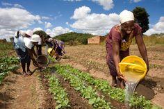 Women Chaitemura Chavakuseva group watering their field in the Dendenyore Ward. Wedza, Zimbabwe. April 2011 (Photo © Progressio) zimbabwe