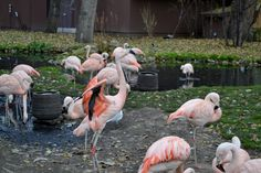 Flamingos at the Calgary Zoo