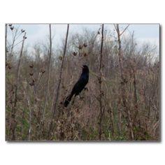 Grackle Bird Postcard