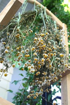 Dry chamomile by hanging in bouquets