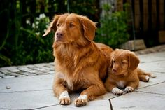 """simply-canine: """" Mother & daughter (by // Nova Scotia Duck Tolling Retriever """" Cute Animal Pictures, Dog Pictures, Toller Dog, Cute Puppies, Dogs And Puppies, Mother And Baby Animals, Nova Scotia Duck Tolling Retriever, Best Dog Breeds, Pet Breeds"""