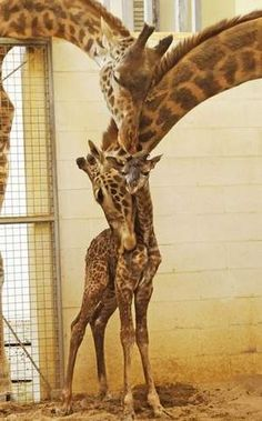 baby giraffe at cincinnati zoo