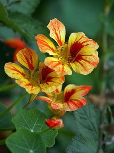 Nasturtiums even have a nice light fragrance--I enjoy their variety in colors!  so easy to grow as well.