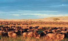 Saisonale Gnuwanderung in Serengeti Safari, Mountains, Nature, Travel, Round Trip, World, Viajes, Naturaleza, Trips