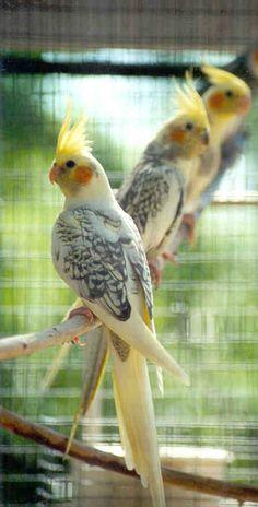 Pretty tiels - www.busybird.com  www.parkieten-online.nl