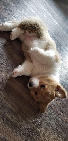 Pickle the Corgi puppy wants all of the tummy rubs! https://ift.tt/2v9DVYJ cute puppies cats animals