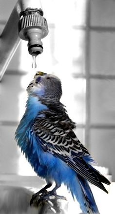 Budgerigar (Budgie) parakeet getting a drink - my George used to do this from the tap in the kitchen :) Pretty Birds, Beautiful Birds, Animals Beautiful, Cute Animals, All Birds, Love Birds, Mundo Animal, Tier Fotos, Budgies