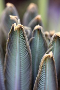 New cycad leaves by AngelaBax, via Flickr
