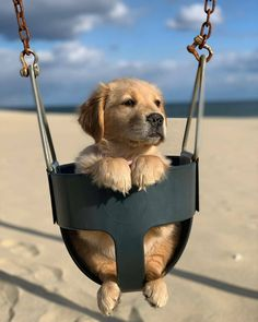 Quarantined Guy Sends His Dog To Buy Cheetos And He Delivers ______________________ Haven't been out for a swing in a while . Baby Animals Super Cute, Super Cute Puppies, Cute Little Puppies, Cute Little Animals, Cute Dogs And Puppies, Cute Funny Animals, Baby Dogs, Doggies, Photos Of Puppies