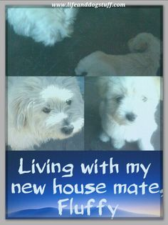 Living With My New House Mate, Fluffy the puppy #dogs #blog