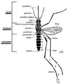 fight the peril behind enemy lines malaria | ... - are you ... mosquito bite diagram