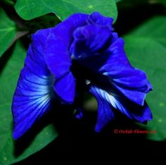 blue flowers names and pictures Rare Orchids, Rare Flowers, Exotic Flowers, Beautiful Flowers, Blue Plants, Tropical Plants, Tropical Flowers, Blue Flower Names, Flowers Names And Pictures