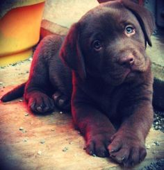 i love chocolate labs