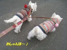 もしかして・・・ ププッ ( ̄m ̄*) | West Highland White Terrier | Scoop.it
