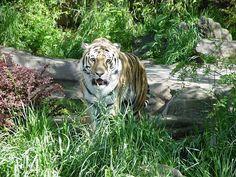 Tiger, Tier, Natur, Tierwelt, Katze Play Online, Tiger, Dogs, Animals, Cats, Nature, Animales, Animaux, Animais