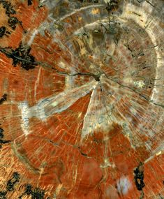 Polished Slice of Petrified-Wood: The image shows the center of a polished slice of a petrified tree from the late Triassic period (approximately 230- million-years-ago) found in Arizona.