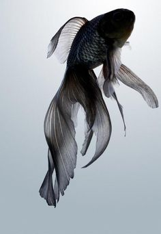 black goldfish. So beautiful. And just to be clear, it is NOT a beta! Ok? For all you people out there who might mistake this fish for a beta its a black goldfish. Thank you for your time.(: