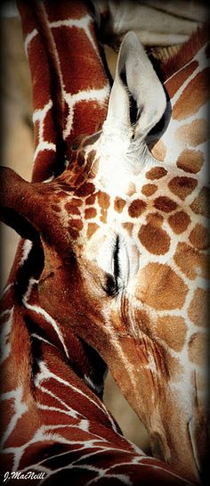 Mother giraffe nuzzles her baby!