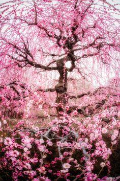 Japanese Plum Tree // Takahiro Bessho