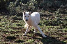 Alaskan Tundra Wolf, - Canis lupus tundrarum