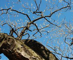 https://flic.kr/p/9JSGHo   The vitality of tree   I love plum trees as much as I love cherry blossom. The symbol of Spring for Japanese.   Yoshino Baigo, Oume-city, Tokyo, Japan  まるで自然界の盆栽みたい。。。 控えめな花の咲き方も美しい。  吉野梅郷、青梅市、東京都