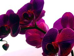 Orchids for sensuality