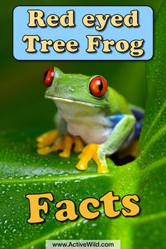 Learn all about one of the rainforest's more colourful residents! Red eyed tree frog facts for kids and adults, with information, pictures and video. Rainforest Facts For Kids, Rainforest Preschool, Rainforest Frog, Frogs Preschool, Rainforest Theme, Rainforest Animals, Frog Facts For Kids, Tree Frog Facts, Frogs For Kids