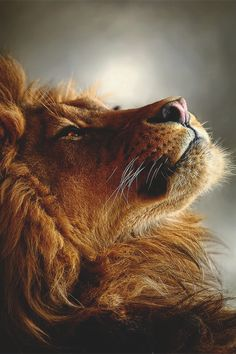 Lion so regal.