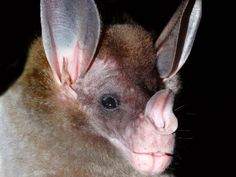 The spectral bat (Vampyrum spectrum), the world's largest carnivorous bat, feeds on small birds, amphibians, reptiles and mammals—including other bats. (Sharlene Santana)