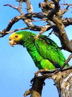 Protecting the Yellow-shouldered Amazon Parrots of Venezuela's Margarita Island: