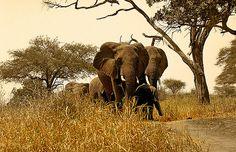 Manada de elefantes, P.N. Tarangire  - Herd of elephants, N.P. Tarangire (August 2005)    www.vicentemendez.com
