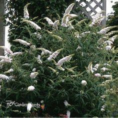 Butterfly Bush   Buddleia White Profusion