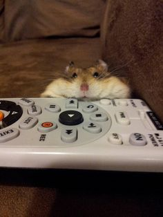 The Internet's Animals - hamster