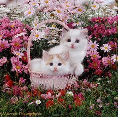 Ragdoll cross kittens - Cats Wallpaper ID 1753945 - Desktop Nexus Animals Cute Baby Cats, Cute Baby Animals, Animals And Pets, Cute Dogs, Kittens And Puppies, Cute Cats And Kittens, Kittens Cutest, Pretty Cats, Beautiful Cats