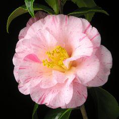 ~Camellia japonica 'Hakuro-nishiki' (Japan, 1859)