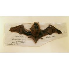 Brown bat mounted to paper with brown ink inscriptions, 1849. One of two preserved animal specimens belonging to John James Audubon, for study and for the watercolors of bats for Quadrupeds of America.  New-York Historical Society, Z.3296.2.