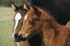 Follow these tips on selecting the right mare and stallion to breed to get a great foal.