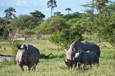 Did you know: There are five species of rhinos, two African and three Asian. The African species are the white and black rhinos. Both species have two horns. Asian rhinos include the Indian and the Javan, each with one horn, and the Sumatran, which has two.