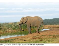 image by Theo Crazzolara. CC BY 2.0 There is an interesting article on The Conversation about the ivory trade and China. (*Thanks to my friend sending the article via Facebook.) It is estimated Afr… Ivory Trade, Game Theory, Save The Elephants, 2 In, My Friend, Conversation, Africa, Facebook, Animals