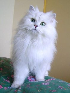 Persian Cat White british longhair - The sets of cat pictures are true representations of the present day situations that cats have to adapt and adjust. You can't stop smiling when you look at. White Kittens, Cute Cats And Kittens, Cool Cats, Kittens Cutest, Pretty Cats, Beautiful Cats, Long Hair Cat Breeds, Long Haired Cats, Fluffy Cat