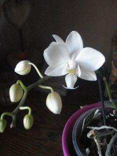 mini orchidée Phalaenopsis blanche